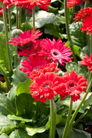 Gerbera Daisies Spring decorating houseplant inspiration ideas greenery