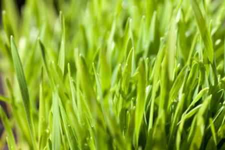 Wheatgrass Close Up grow sprouts spring project kids