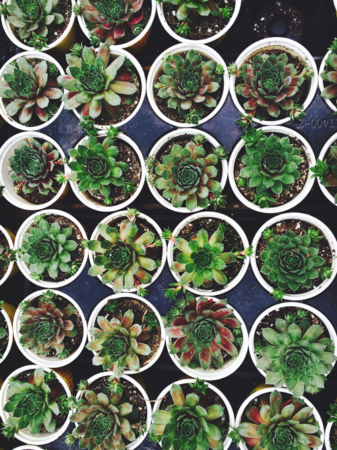 Green succulents care information dying help care how to