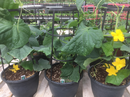 Oakridge Garden Centre Cucumbers fresh vegetables patio snacker