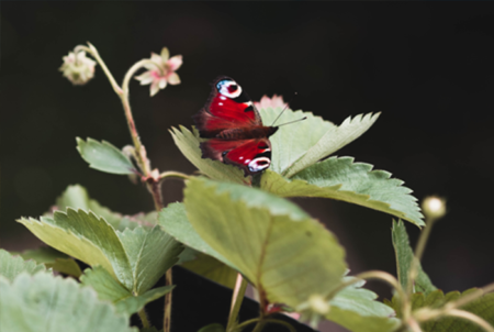 Butterfly-on-Strawberry-Plant