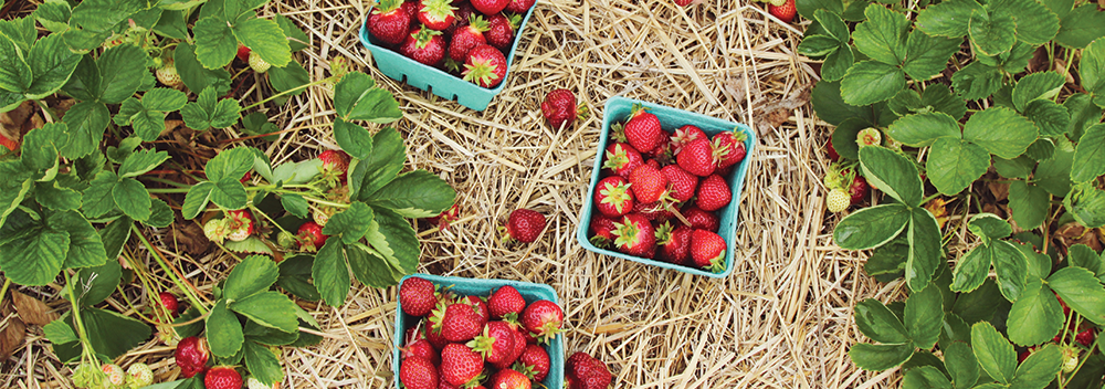 Strawberries: From Garden to Table
