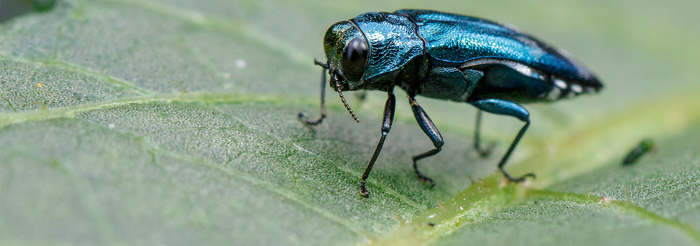 emerald ash borer on tree leaf