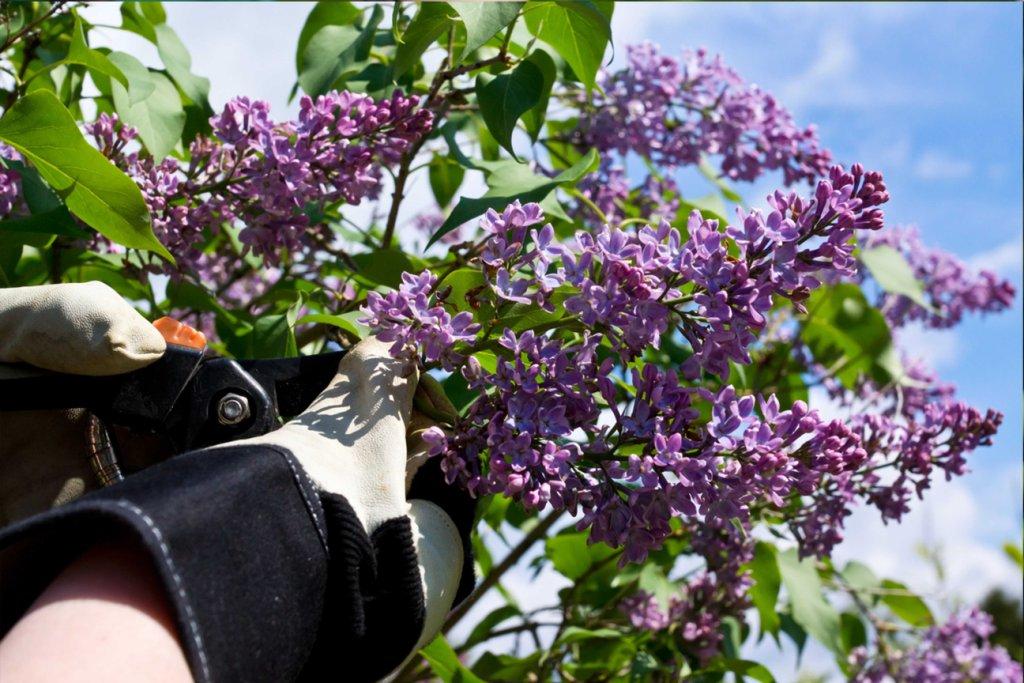 cutting lilacs