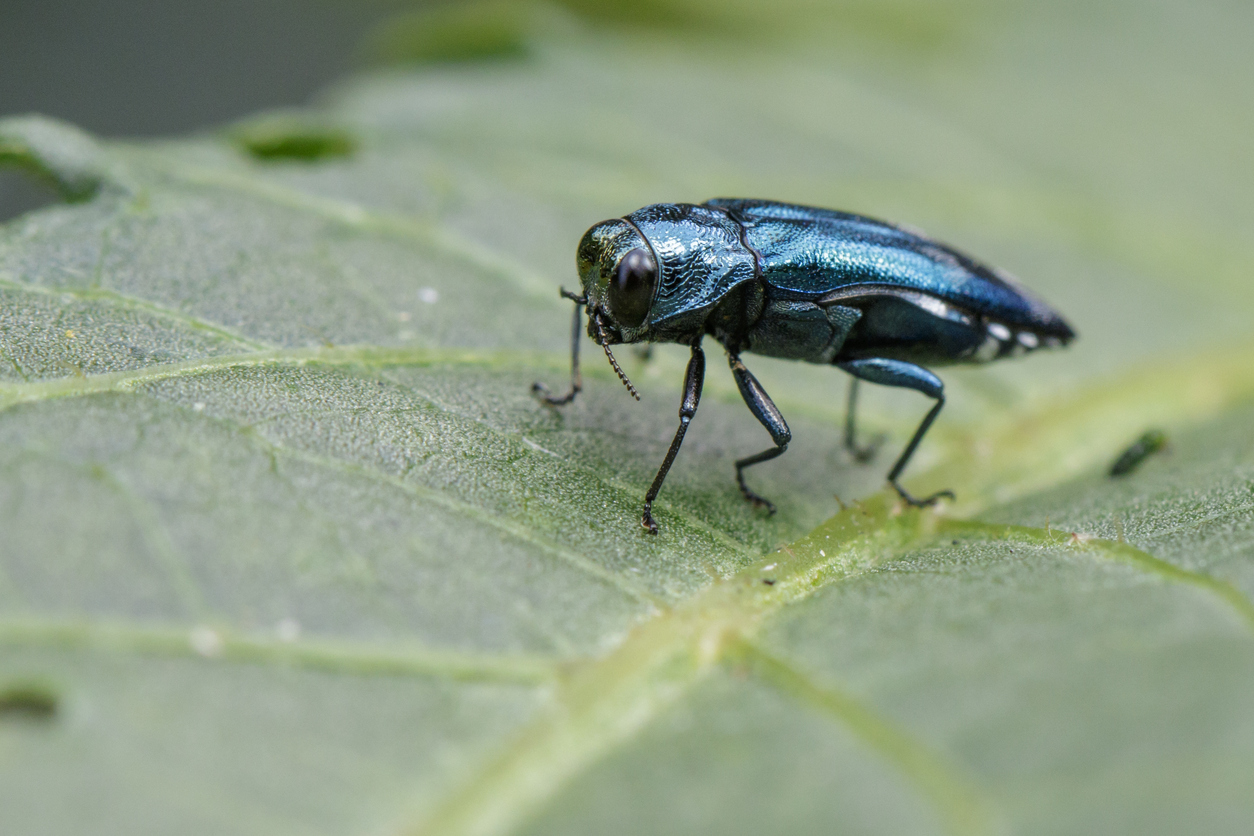 emerald ash borer damaging trees