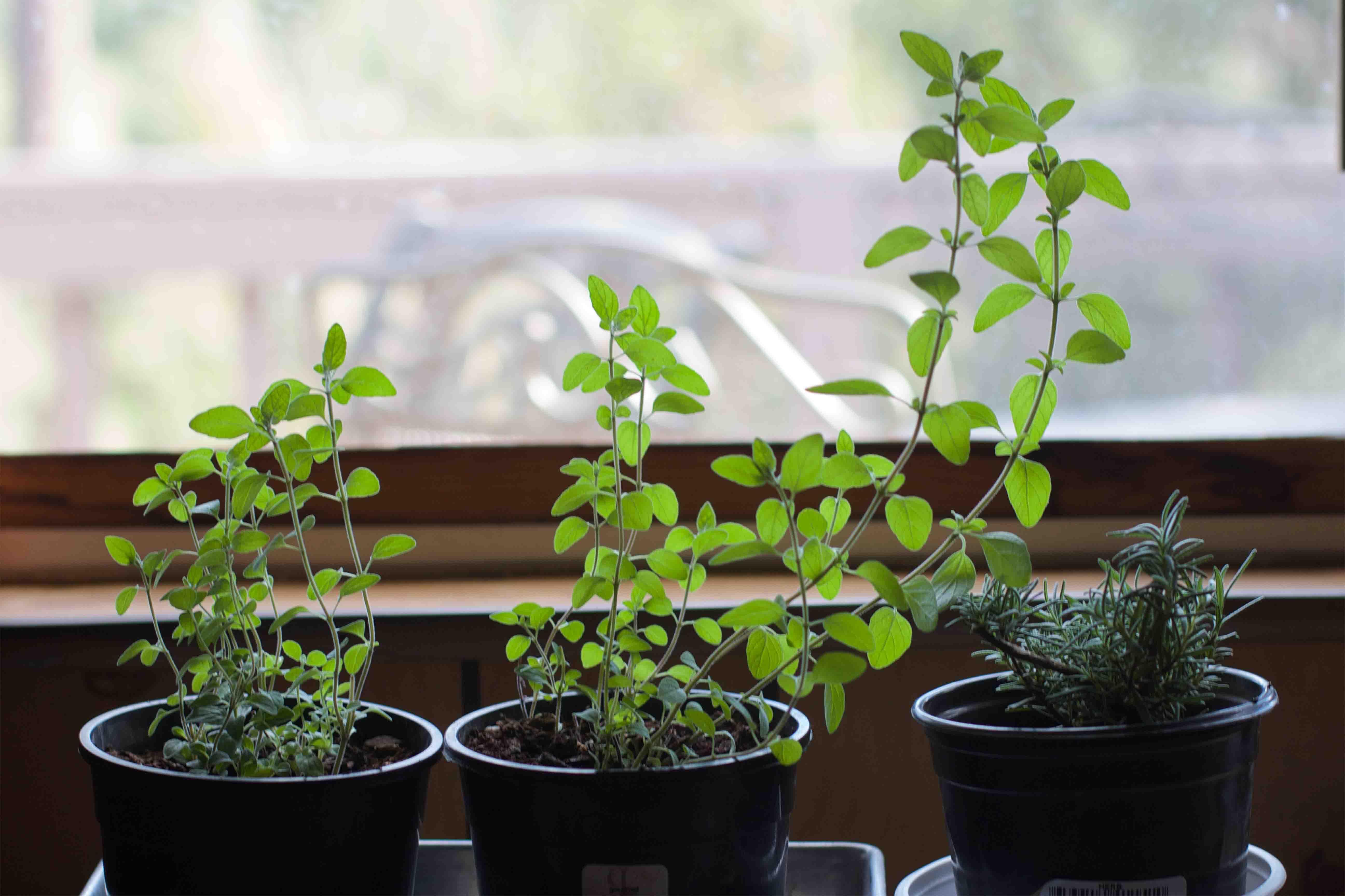 thyme container garden