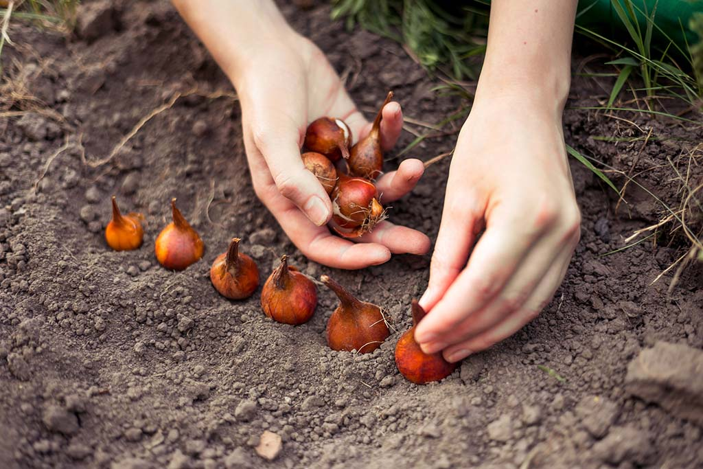planting bulbs in a row