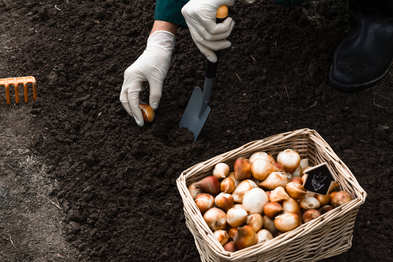 planting spring bulbs in the fall
