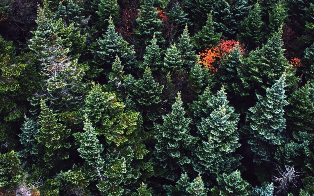 Coniferous Trees for the Holiday Home and Yard