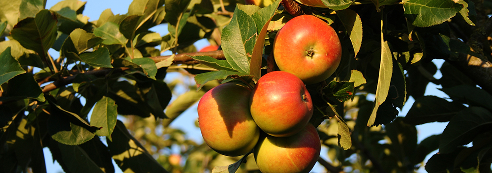 apples ripe for picking