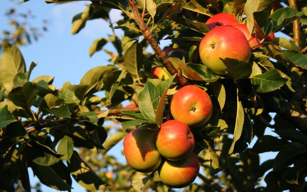 Taste of Autumn: Picking & Storing Apples