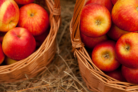 picked apples in baskets