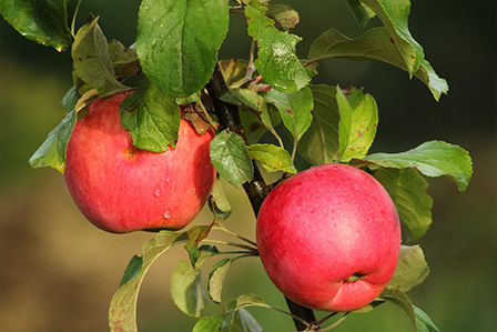 bright red apples on a branch
