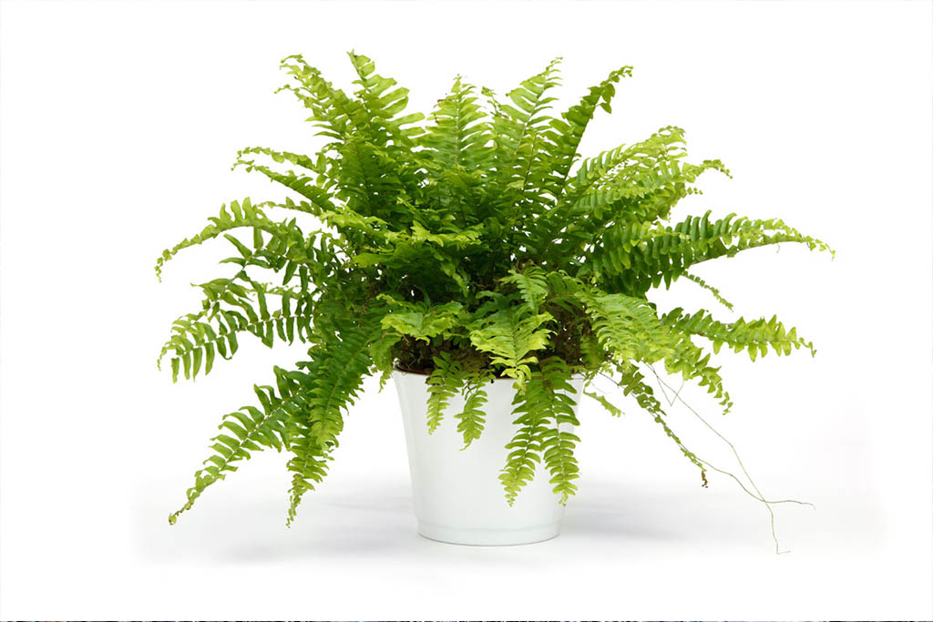 Boston Fern: The oldest houseplant in the world