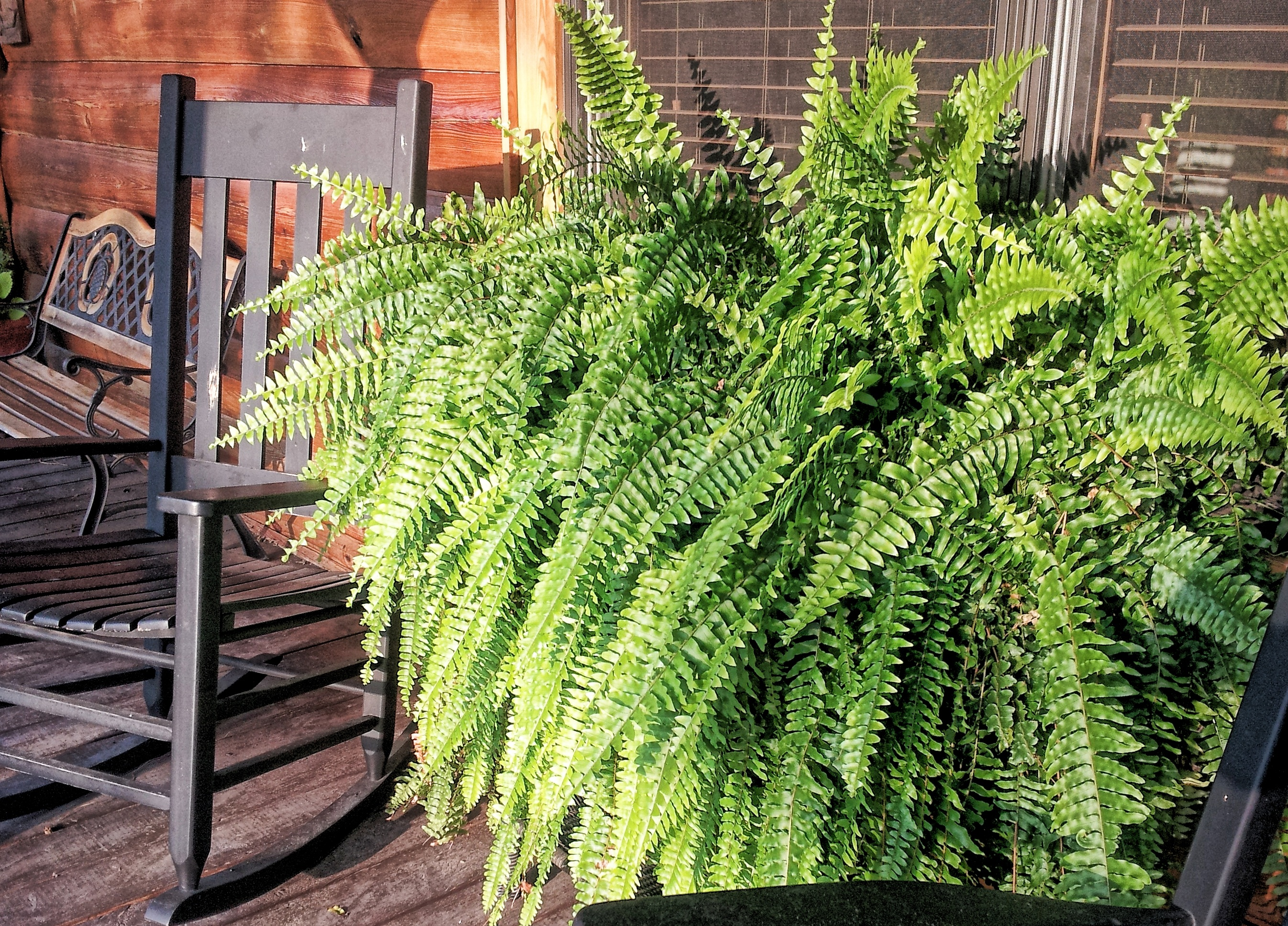 Outdoor Fern