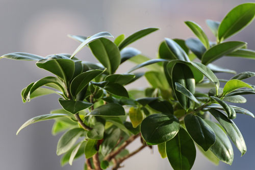Closeup of Bright Green Ficus Houseplant