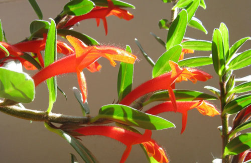Green and Red Goldfish Plant (Columnea Gloriosa)