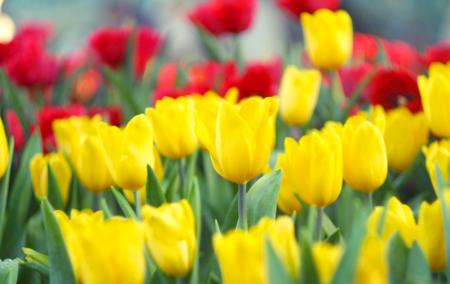 bulbs-for-a-cutting-garden-tulips