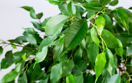 transitioning-tropical-plants-bright-ficus-close-up