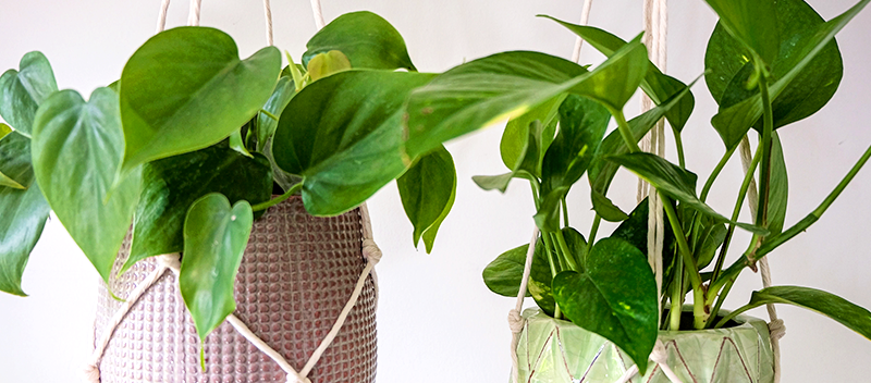 transitioning-tropical-plants-hanging-basket-houseplants-header