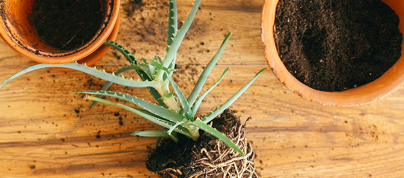 repotting-root-bound-houseplants-aloe-header