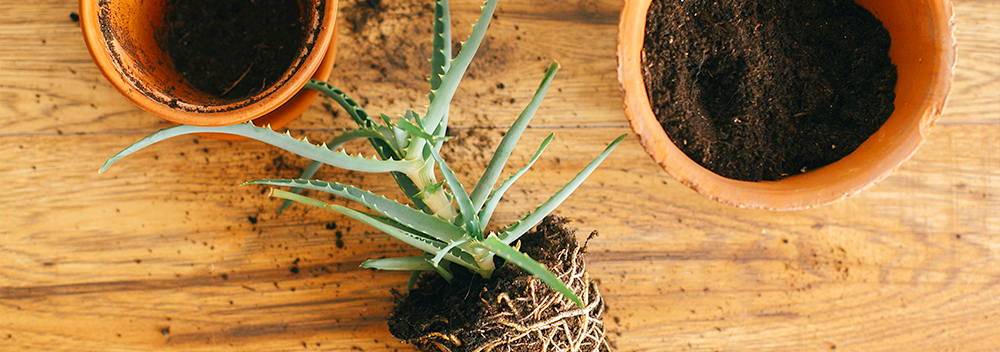 How To Repot Root Bound Houseplants Like A Pro