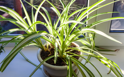 repotting-root-bound-houseplants-tropical-plant-in-sun